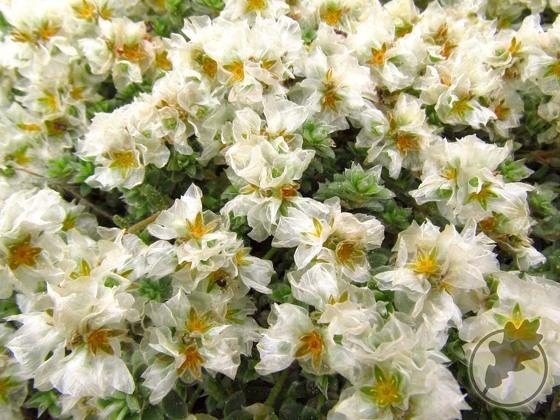 6.Paronychia capitata