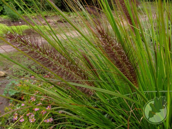 4.Pennisetum alopecuroides 'Hameln'