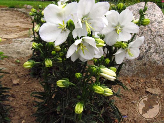 Campanula persicifolia var. planiflora f. alba