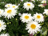 Leucanthemum x superbum 'Crazy Daisy' 2