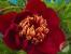 Paeonia lactiflora 'Akron'
