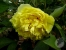 Paeonia 'Yellow Crown'
